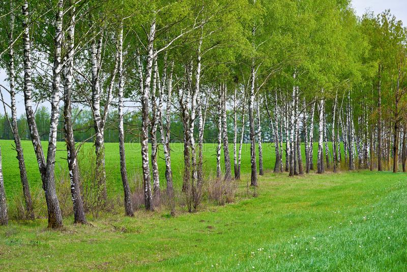 Beautiful spring or summer landscape of birch grove royalty free stock images
