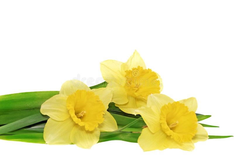 Beautiful spring three flowers : yellow narcissus (Daffodil) royalty free stock photos
