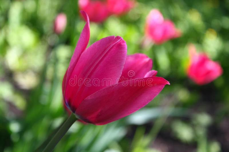 Beautiful spring Tulip bloom on a sunny day stock image