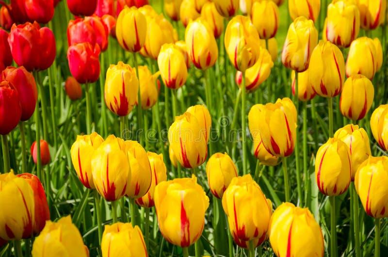 Beautiful spring tulip flowers in Keukenhof park in Netherlands (Holland) stock photography