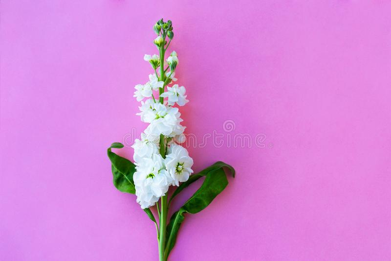 Beautiful spring white Delphinium floral pink color background with copy space. Top view. Objects on a simple background.  royalty free stock image