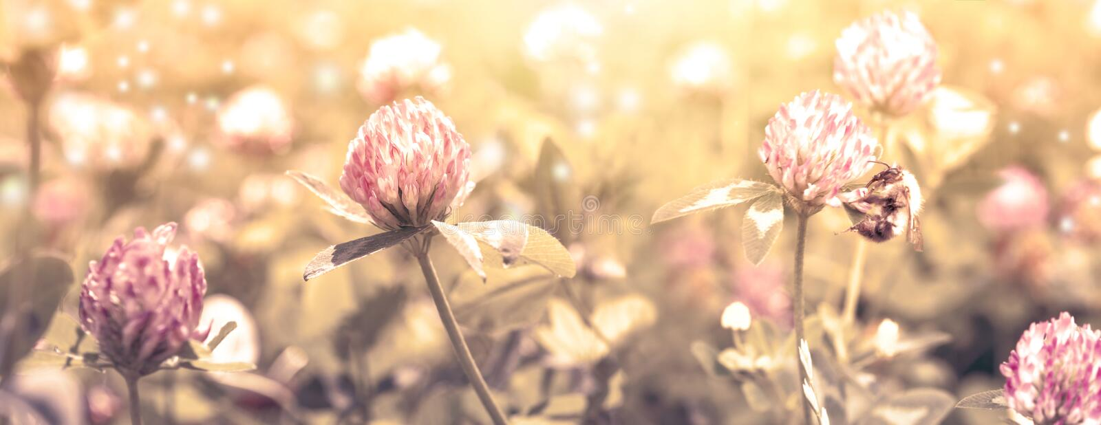 Beautiful spring wild meadow clover flowers, pink and yellow colors in sun light with bee, macro. Soft focus nature background. stock image