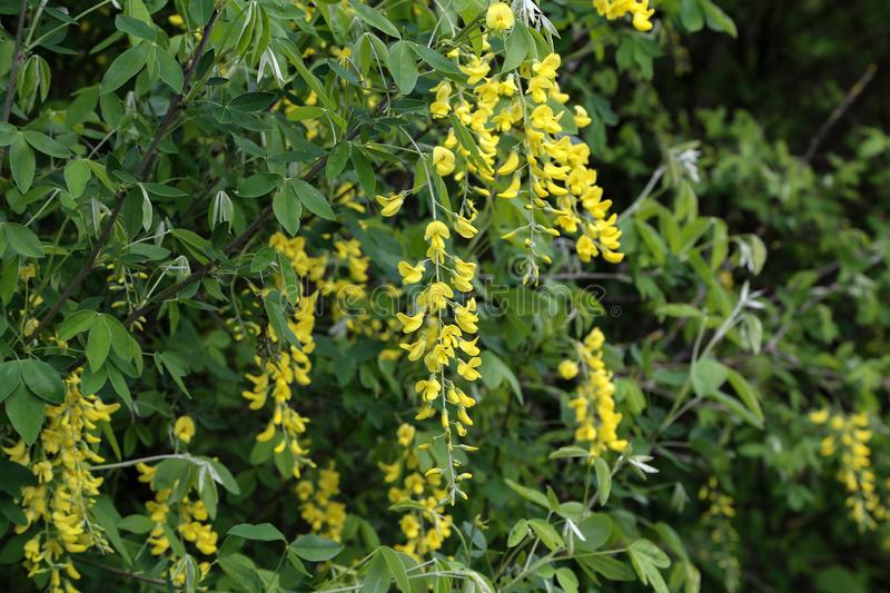 Beautiful spring yellow acacia tree. Branch blossoms against blurred background royalty free stock photo