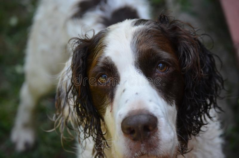 Beautiful Springer Spaniel Dog with big beautiful brown eyes. Pretty Springer Spaniel dog watching me with big, beautiful brown eyes royalty free stock images
