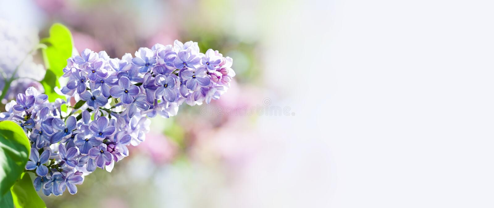 Beautiful springtime floral background with bunch of violet purple flowers. Blossoming Syringa vulgaris lilacs bush. Soft focus photo. copy space stock images