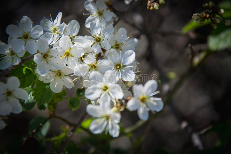 Close up macro photo of tiny white flowers, blossoms, sky background, tiny green leaves, branches of a tree in spring season royalty free stock image