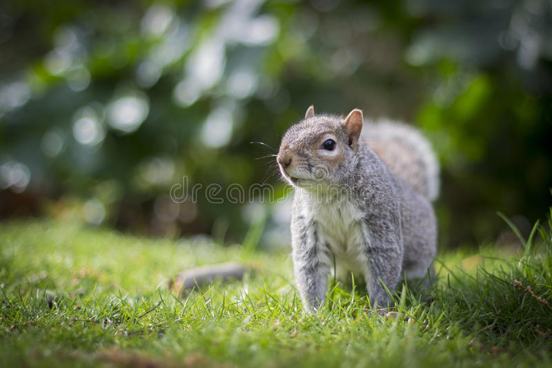 Beautiful squirrel in the grass royalty free stock photography