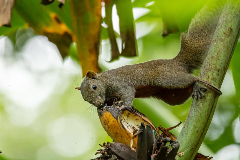 Beautiful squirrel holding a banana and feeding on it royalty free stock images