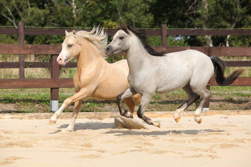 Beautiful stallions running together stock image