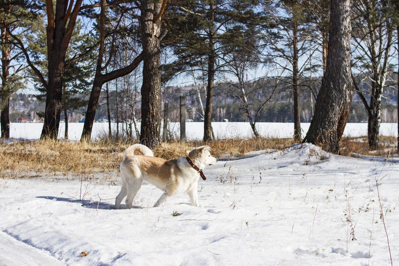 Beautiful stately athletic dog Japanese Akita Inu in a winter forest in a snowdrift among pines and other conifers trees. Beautiful stately athletic dog stock photo