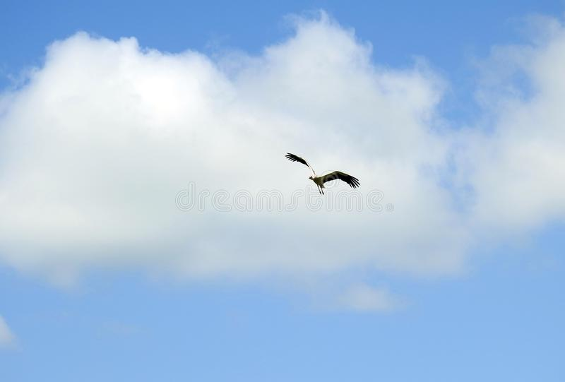 Flying stork bird, Lithuania royalty free stock image