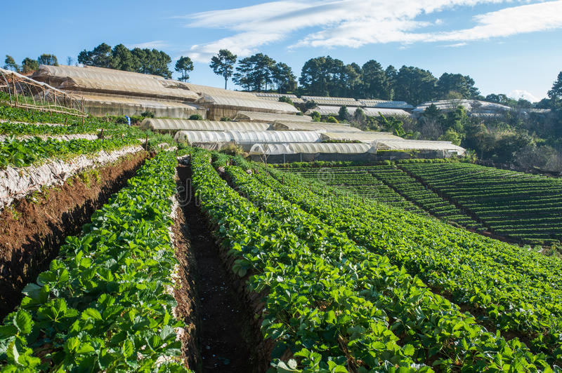 Beautiful strawberry farm and thai farmer house on hill. royalty free stock photos