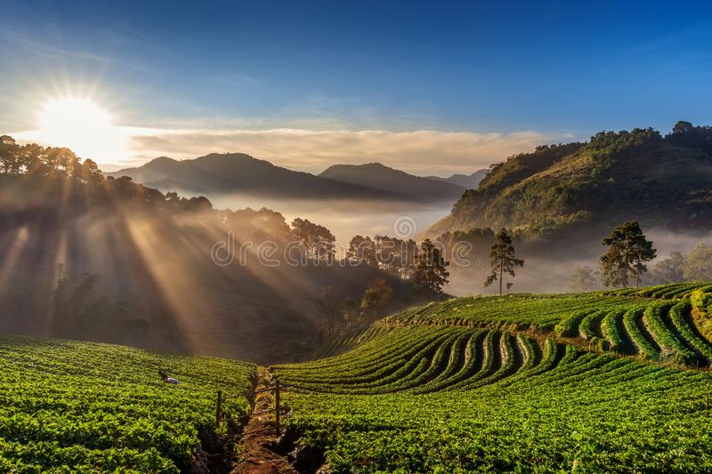 Beautiful strawberry garden and sunrise on Doi Ang Khang , Chiang Mai, Thailand. royalty free stock photography