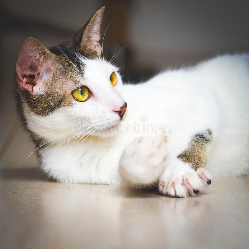 Beautiful stray cat raised its paw up royalty free stock photography