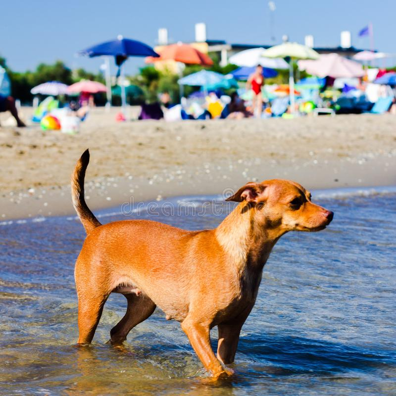 Beautiful stray dog that looks for a way to reach its owners in the water on a free beach. royalty free stock images
