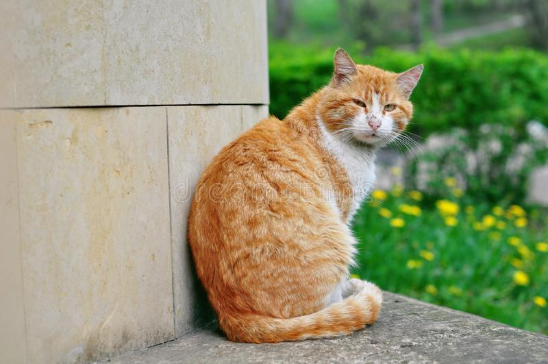 Beautiful street red cat royalty free stock image