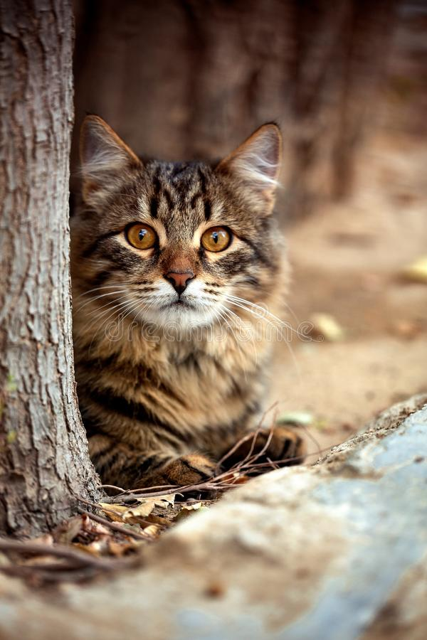 Beautiful, striped Cat lies behind a tree outside the house and carefully looks at the camera. stock photo