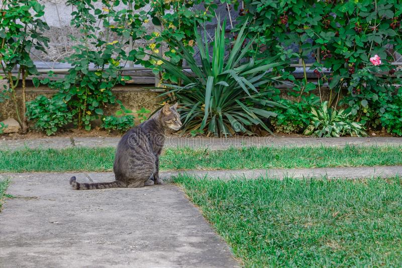 Beautiful striped cat sitting in the yard stock photo