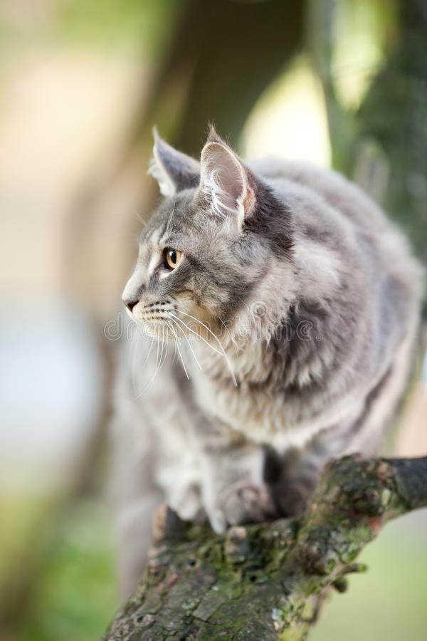 Download Beautiful Striped Maine Coon Cat Stock Image - Image: 21529775