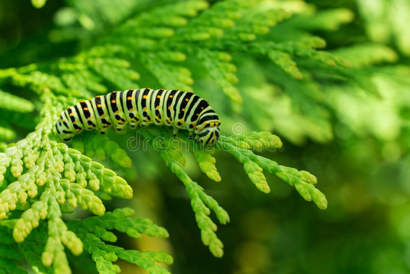 Beautiful striped Swallowtail butterfly caterpillar sits on green branch of western thuja. Macro caterpillar of Papilio machaon stock photo