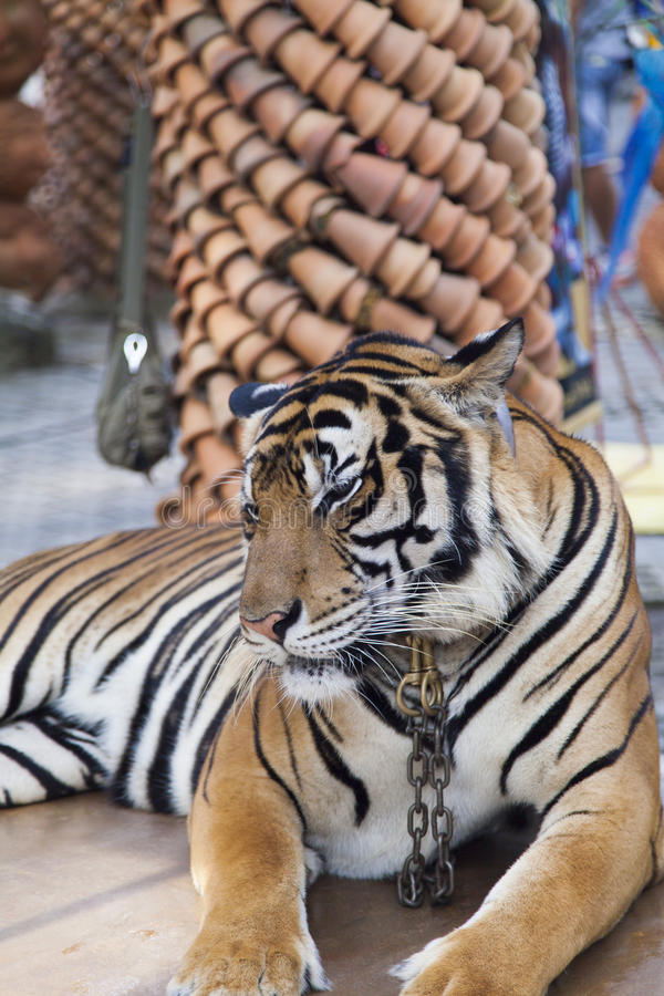 Beautiful striped tiger. It is lazy lies and watches people royalty free stock photography