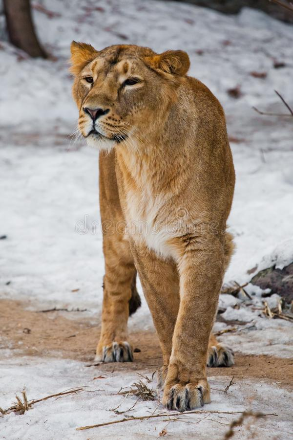 A beautiful and strong female lion is looking at you carefully and greedily. White background - snow. The look of a big strong cat stock photos