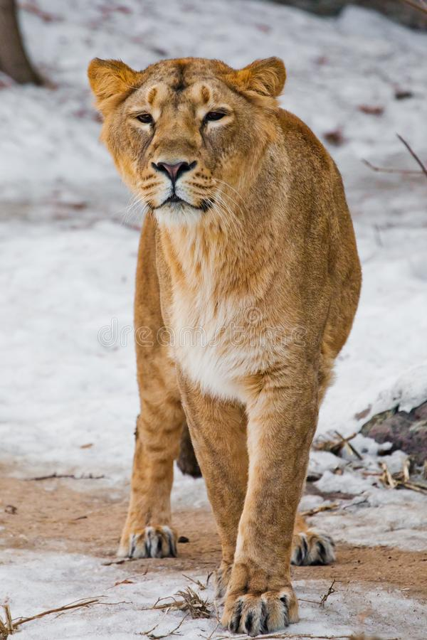 A beautiful and strong female lion is looking at you carefully and greedily. White background - snow. The look of a big strong cat stock image
