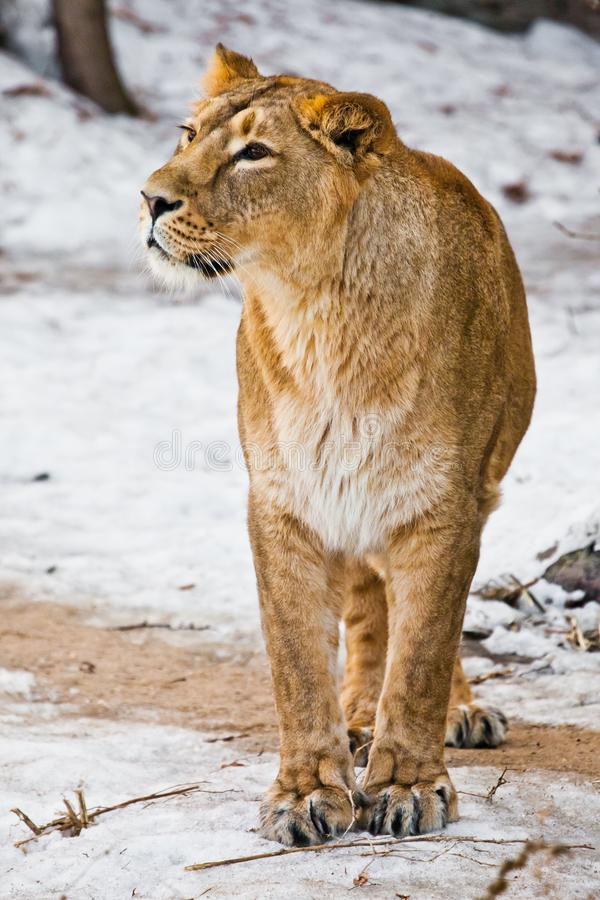 A beautiful and strong female lion is looking at you carefully and greedily. White background - snow. The look of a big strong cat royalty free stock images