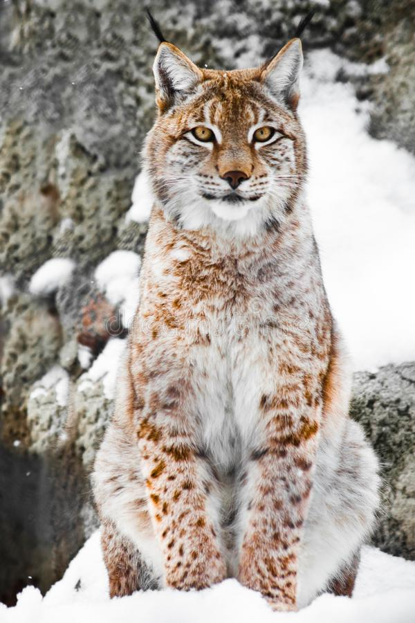 A beautiful and strong wildcat lynx sits upright and straight in the snow royalty free stock images