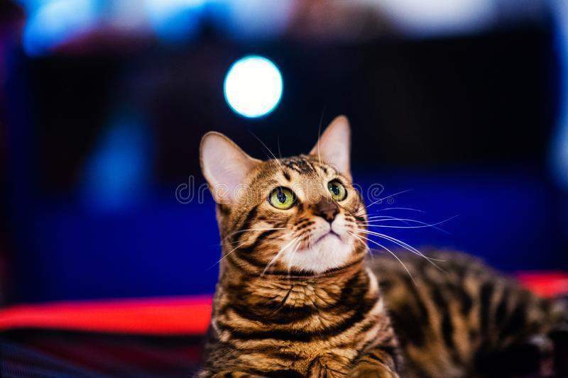 Beautiful stylish Bengal cat royalty free stock images