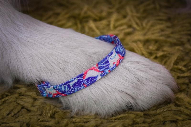 Bracelet for everyone. Beautiful stylish bracelet for everyone. Look good even the dog! This can have animal and his breeder too stock photography
