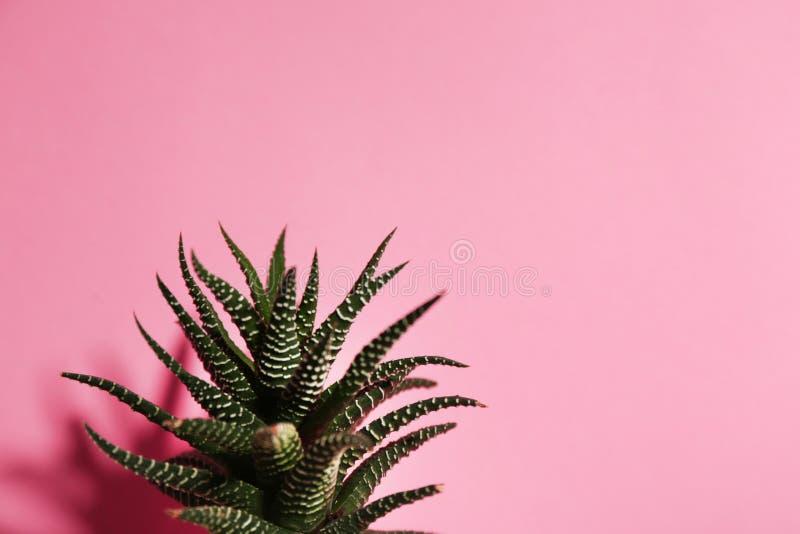 Beautiful succulent Haworthia fasciata on pink. Space for text. Beautiful succulent Haworthia fasciata on pink background. Space for text stock photos