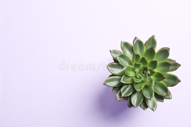 Beautiful succulent plant on color background, top view. Space for text royalty free stock image