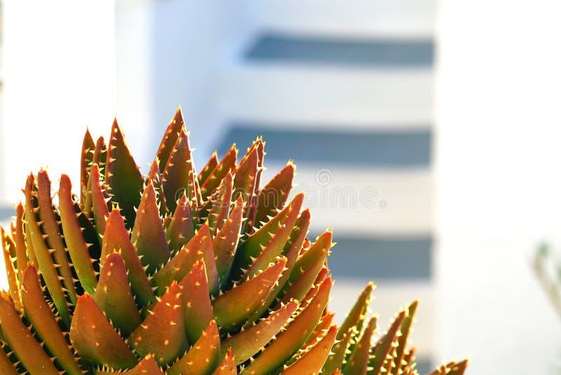 Beautiful succulent plant in the sun of Imerovigli stock image