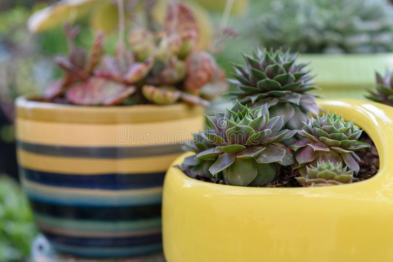 Beautiful succulent plant in yellow flower pot. stock photography