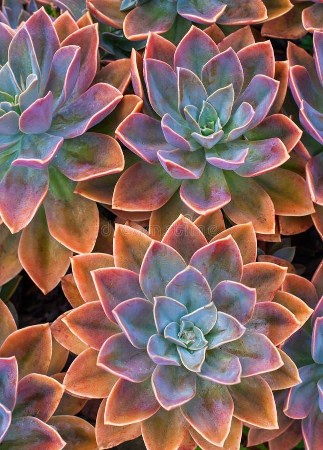 Beautiful succulent plants, echeveria succulents royalty free stock photo