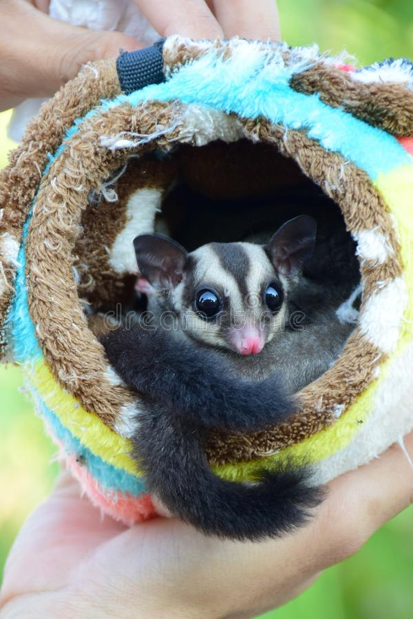 Beautiful sugar glider in the garden. stock images