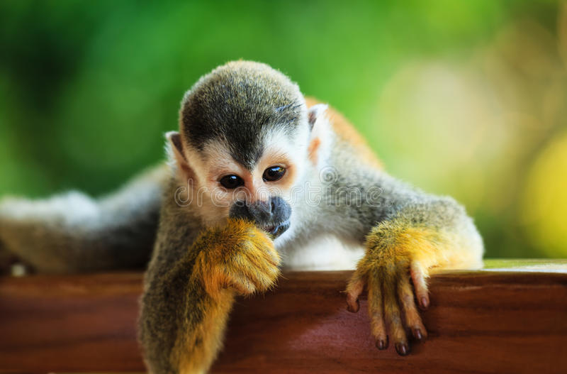 Beautiful Suirrel Monkey in Manuel Antonio National Park. Squirrel Monkey shot on a porch railing in Manuel Antonio National Park, Quepos, Costa Rica royalty free stock images