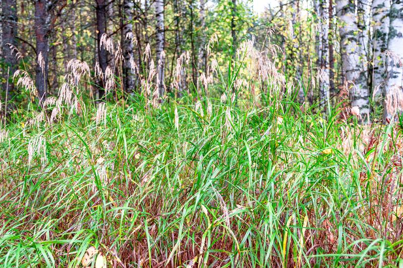 Beautiful summer autimn landscape with dry grass reeds and forest natural background stock photography