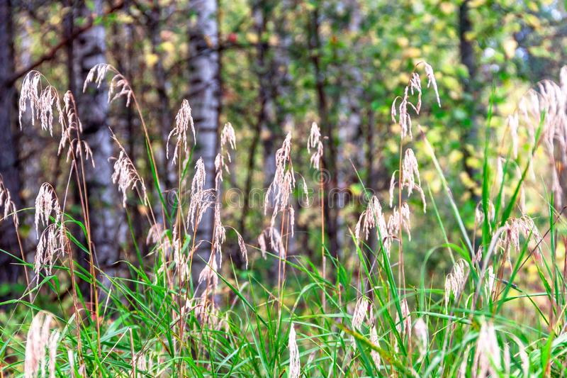 Beautiful summer autimn landscape with dry grass reeds and forest natural background stock images