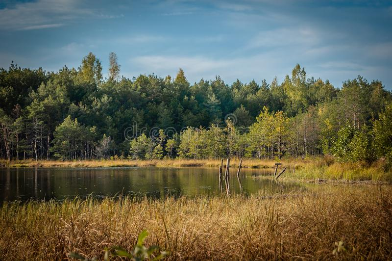 Summer-autumn landscape. coast of a small lake with a creeper, bushes and coniferous forest under a blue sky. Beautiful summer-autumn landscape. coast of a small royalty free stock image