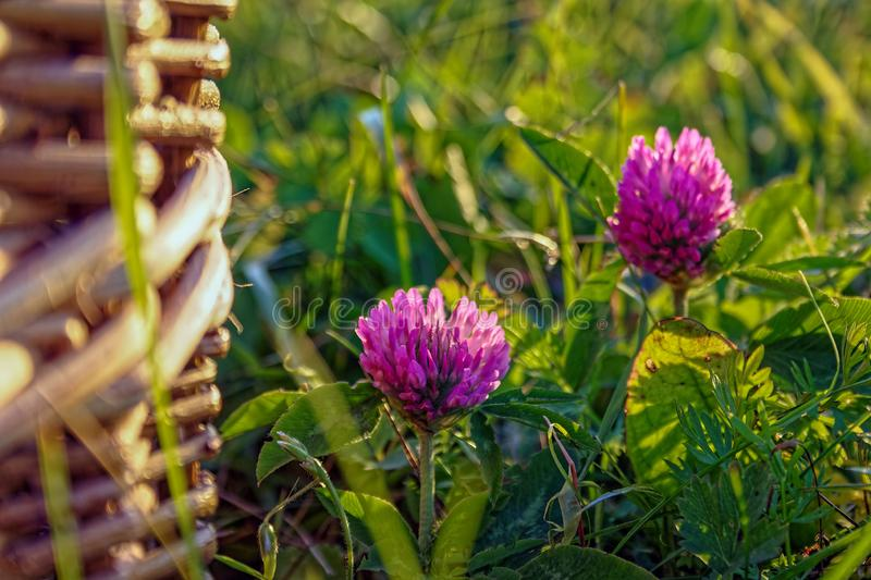 Beautiful summer background with wild meadow grass and clover flowers in the rays of sunset. Clover flowers close-up stock image