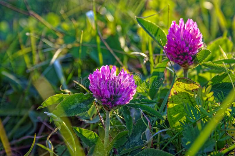 Beautiful summer background with wild meadow grass and clover flowers in the rays of sunset. Clover flowers close-up stock photos