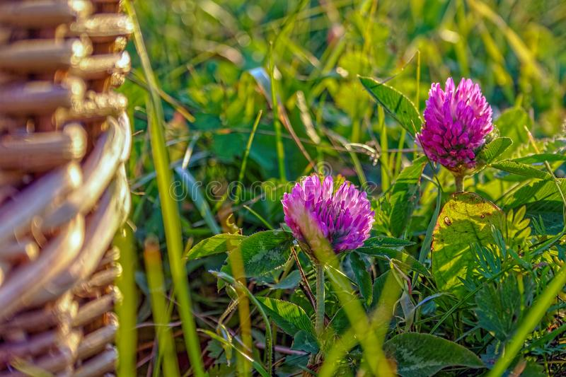 Beautiful summer background with wild meadow grass and clover flowers in the rays of sunset. Clover flowers close-up royalty free stock photography