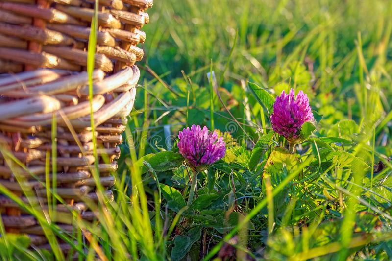 Beautiful summer background with wild meadow grass and clover flowers in the rays of sunset. Clover flowers close-up royalty free stock image