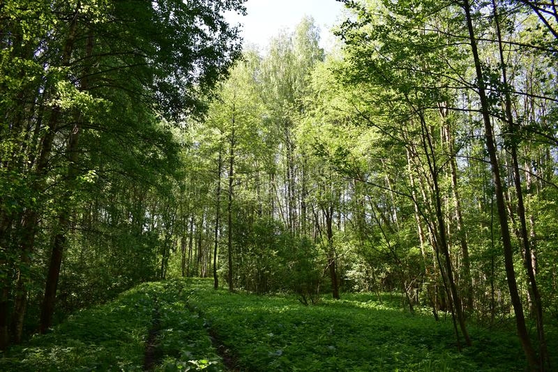 Beautiful summer deciduous forest gives us peace of mind, surrounds with natural harmony, inspires. Green grass, trees going into the forest stock image
