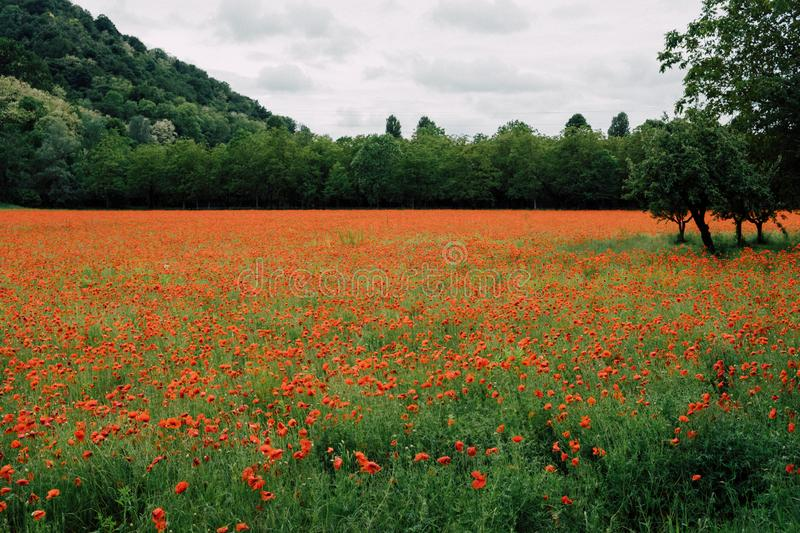 Beautiful summer field with red poppy flowers in full bloom. Idyllic rustic landscape with blooming wildflowers.  royalty free stock photos