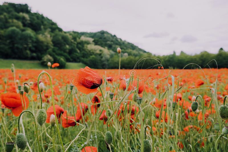 Beautiful summer field with red poppy flowers in full bloom. Idyllic rustic landscape with blooming wildflowers.  royalty free stock photography