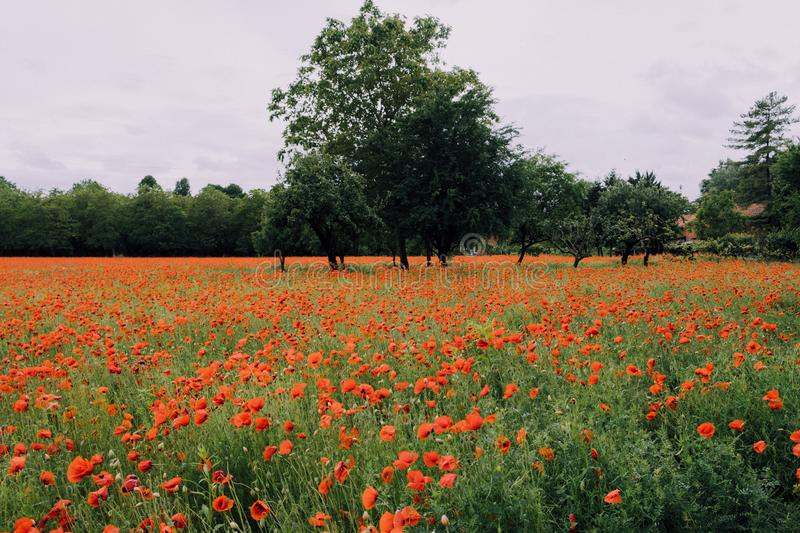 Beautiful summer field with red poppy flowers in full bloom. Idyllic rustic landscape with blooming wildflowers.  stock photography
