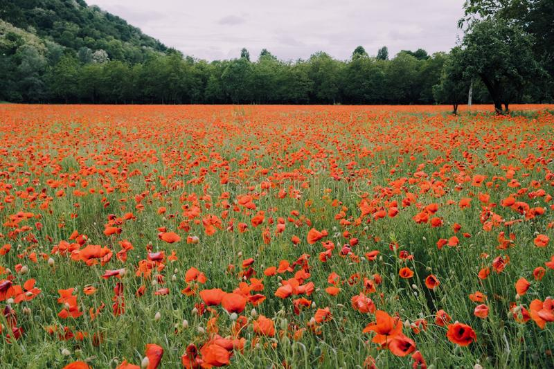 Beautiful summer field with red poppy flowers in full bloom. Idyllic rustic landscape with blooming wildflowers.  stock images